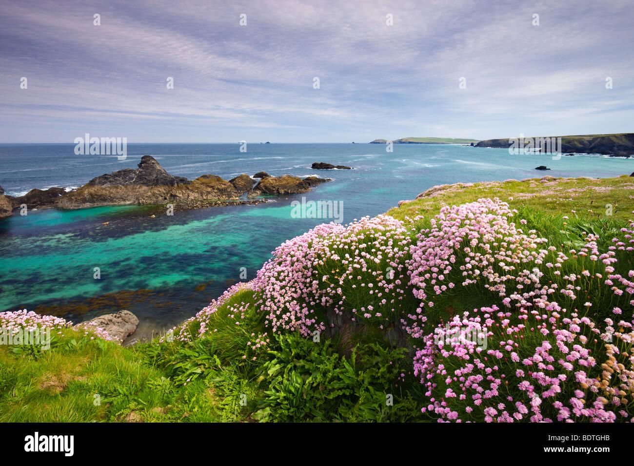 Mare parsimonia crescente sul Cornish clifftops vicino Porthcothan Bay, Cornwall, Inghilterra. Molla (maggio) 2009 Foto Stock