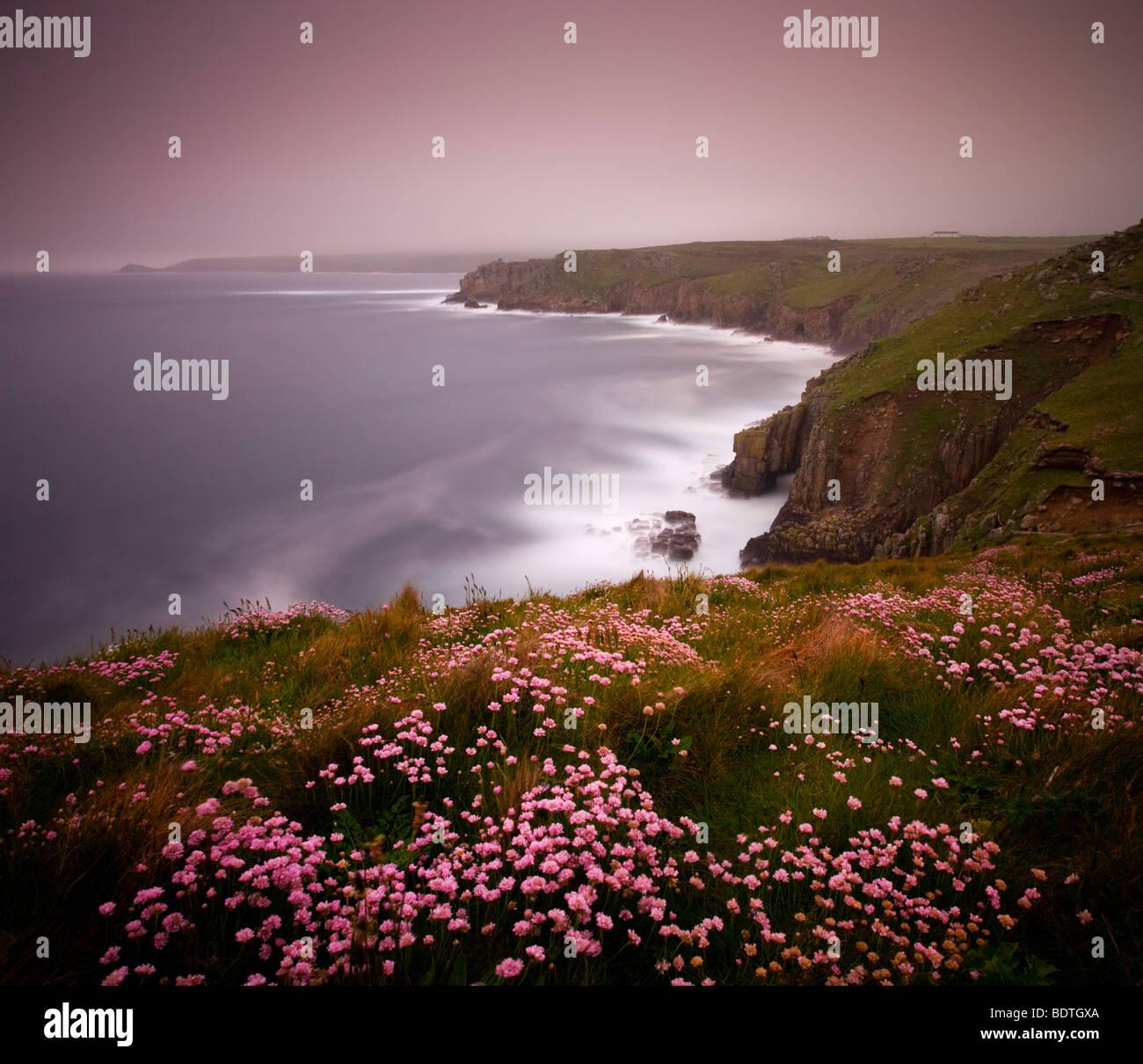 Mare parsimonia crescente sul clifftops sopra Land's End, Cornwall, Inghilterra. Molla (maggio) 2009 Foto Stock