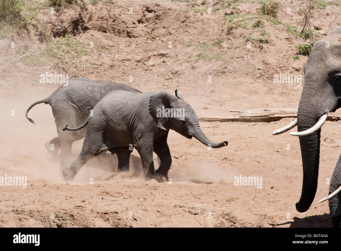 Adorabili e simpatici funny twin neonato elefanti africani eccitato in esecuzione, mescolando polvere, guardato Immagini Stock