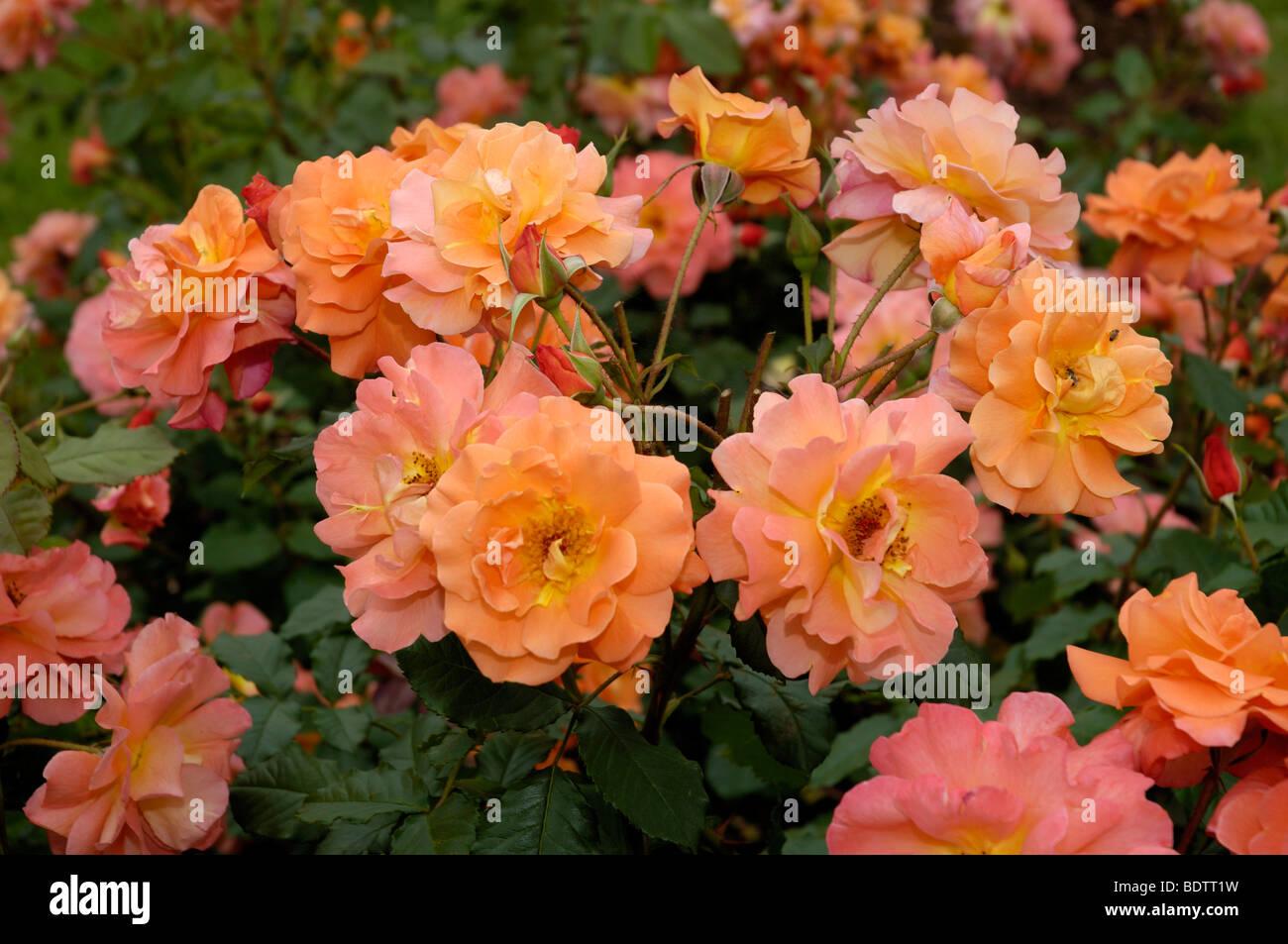 Rosa ad arbusto, WesterlandRosa spec., Strauchrose Westerland Immagini Stock