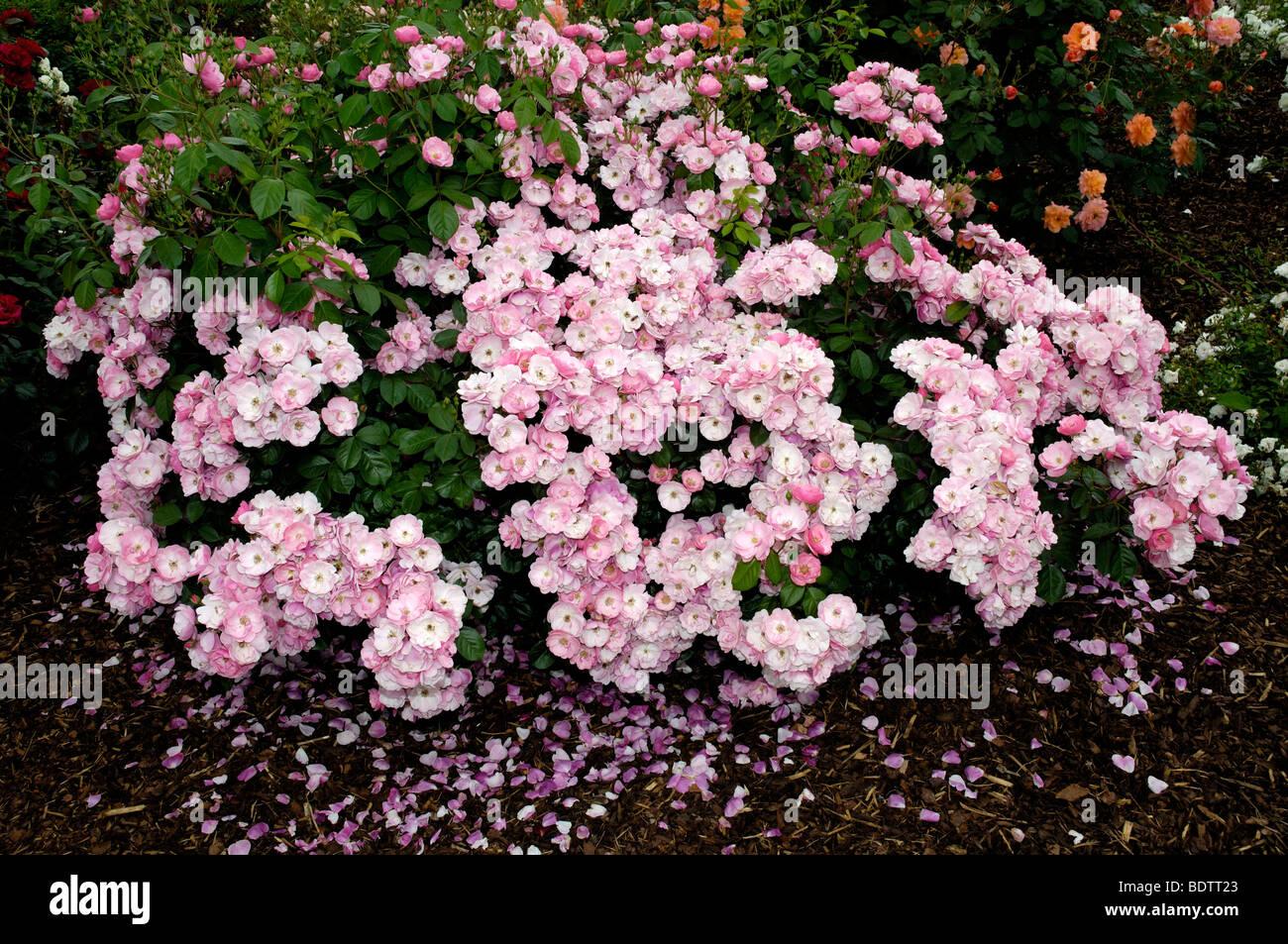 Rosa ad arbusto, Rosa spec.,Strauchrose Angela Immagini Stock