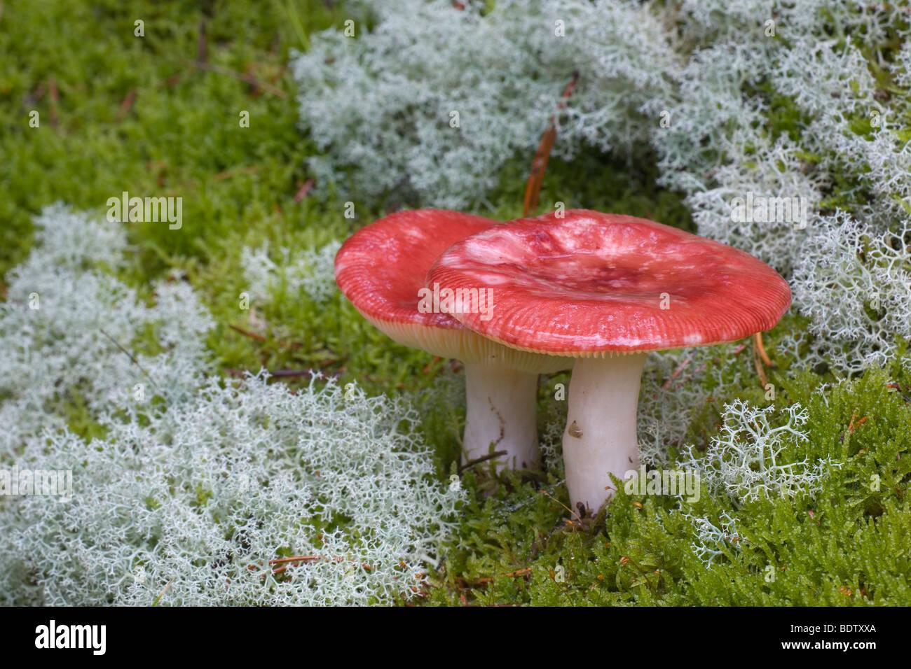 Speisetaeubling / Il Flirt - (Bare-Russula dentata) / Russula vesca Immagini Stock