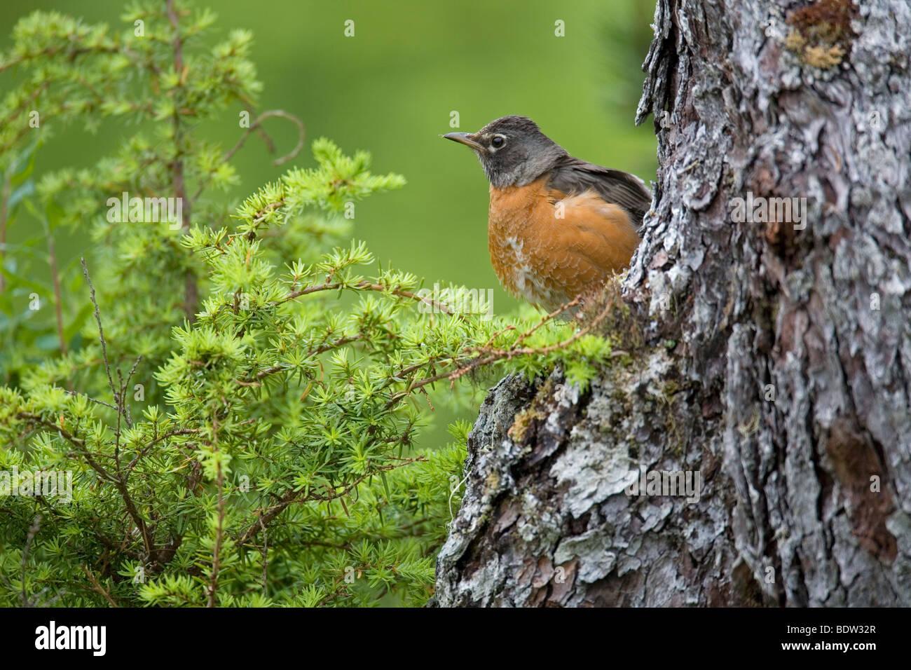 Wanderdrossel, American Robin (Turdus migratorius) Foto Stock