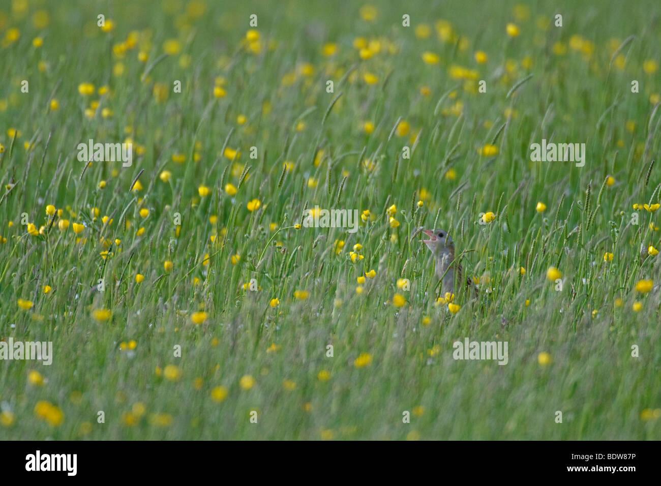 Re di Quaglie Crex crex chiamando nel fieno prato sull isola di South Uist, Western Isles, Scozia. Foto Stock