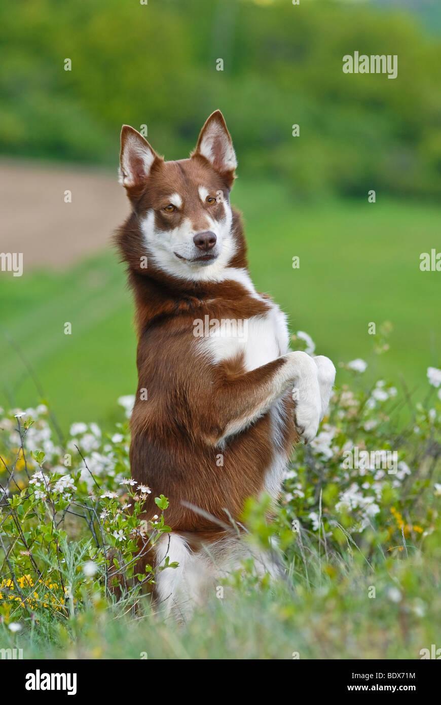 Lapponian Herder, Lapinporokoira o carenza di Lapp renne cane accattonaggio su un prato fiorito Immagini Stock