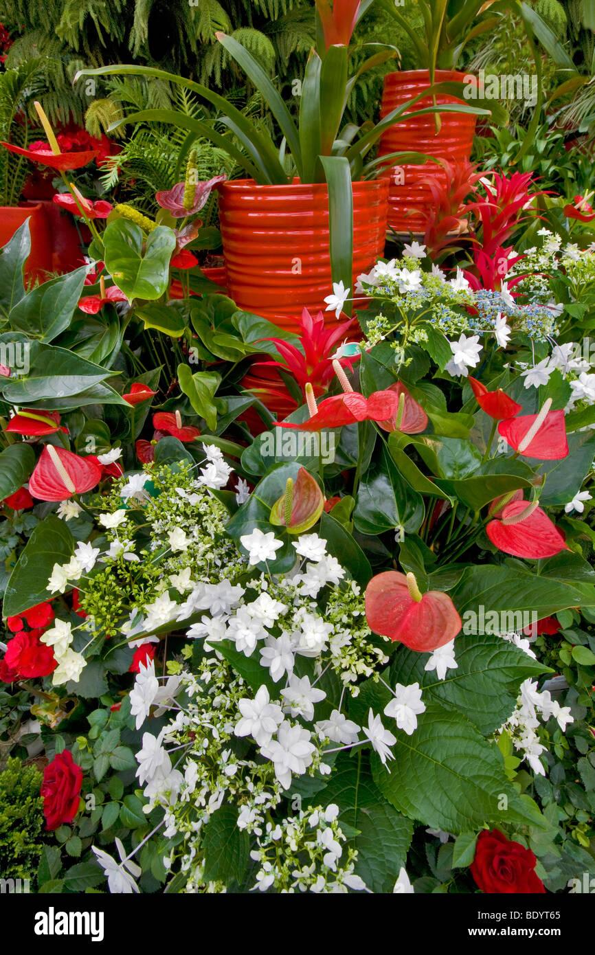 Display di natale di Fiesta Anthurium e bianco le stelle cadenti. Al giardino del vivaio. Sherwood, Oregon Immagini Stock