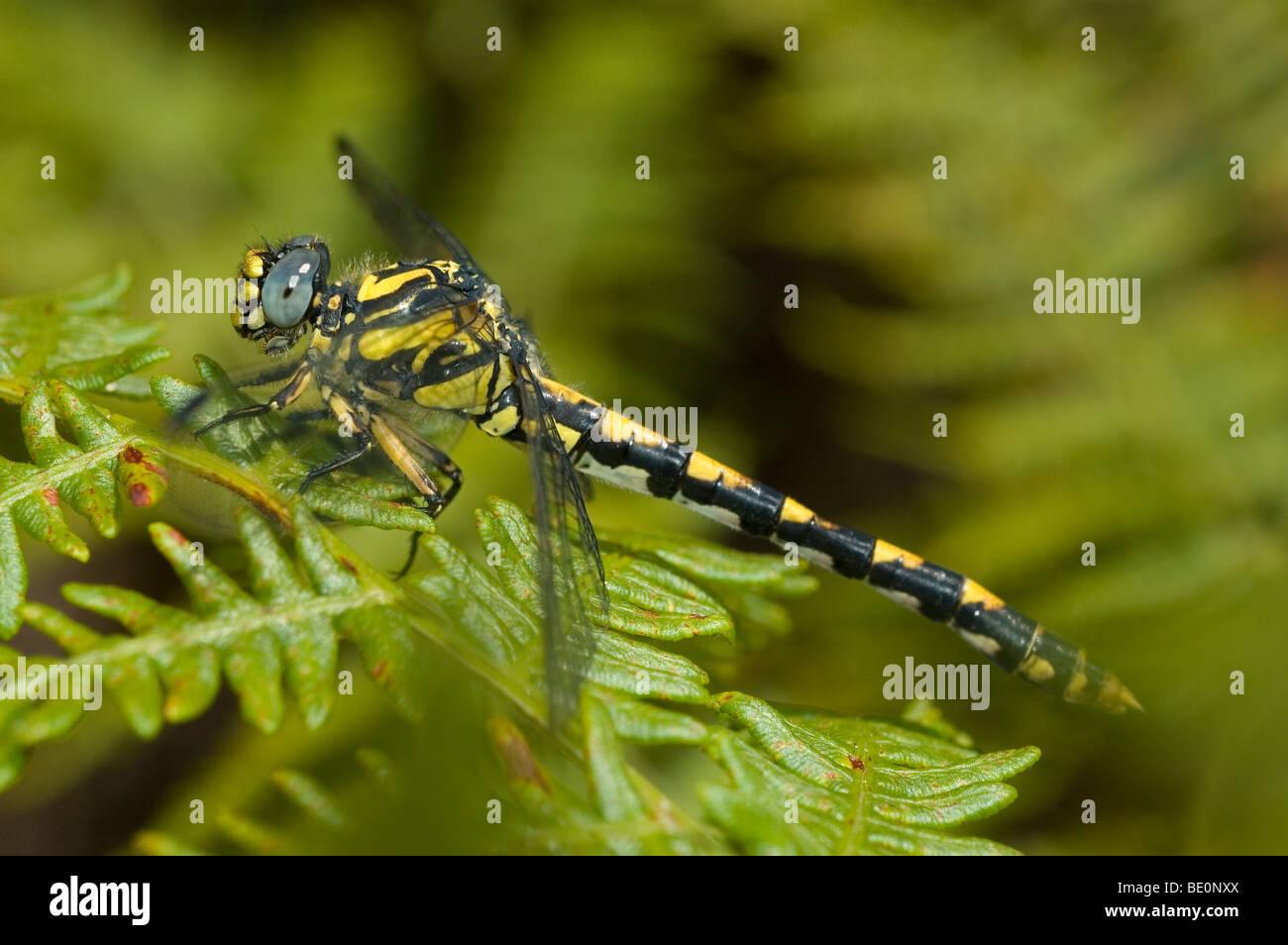 Grandi pincertail dragonfly (Onychogomphus uncatus) Immagini Stock