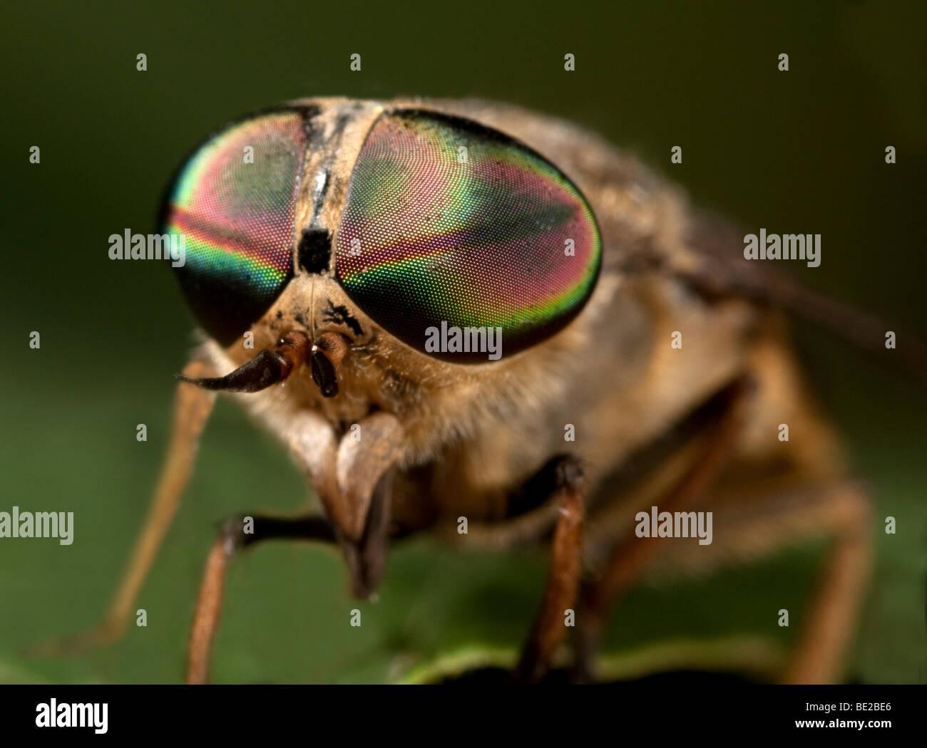 Horse Fly Tabanus bromius macro close up mostrando grande occhio composto Immagini Stock