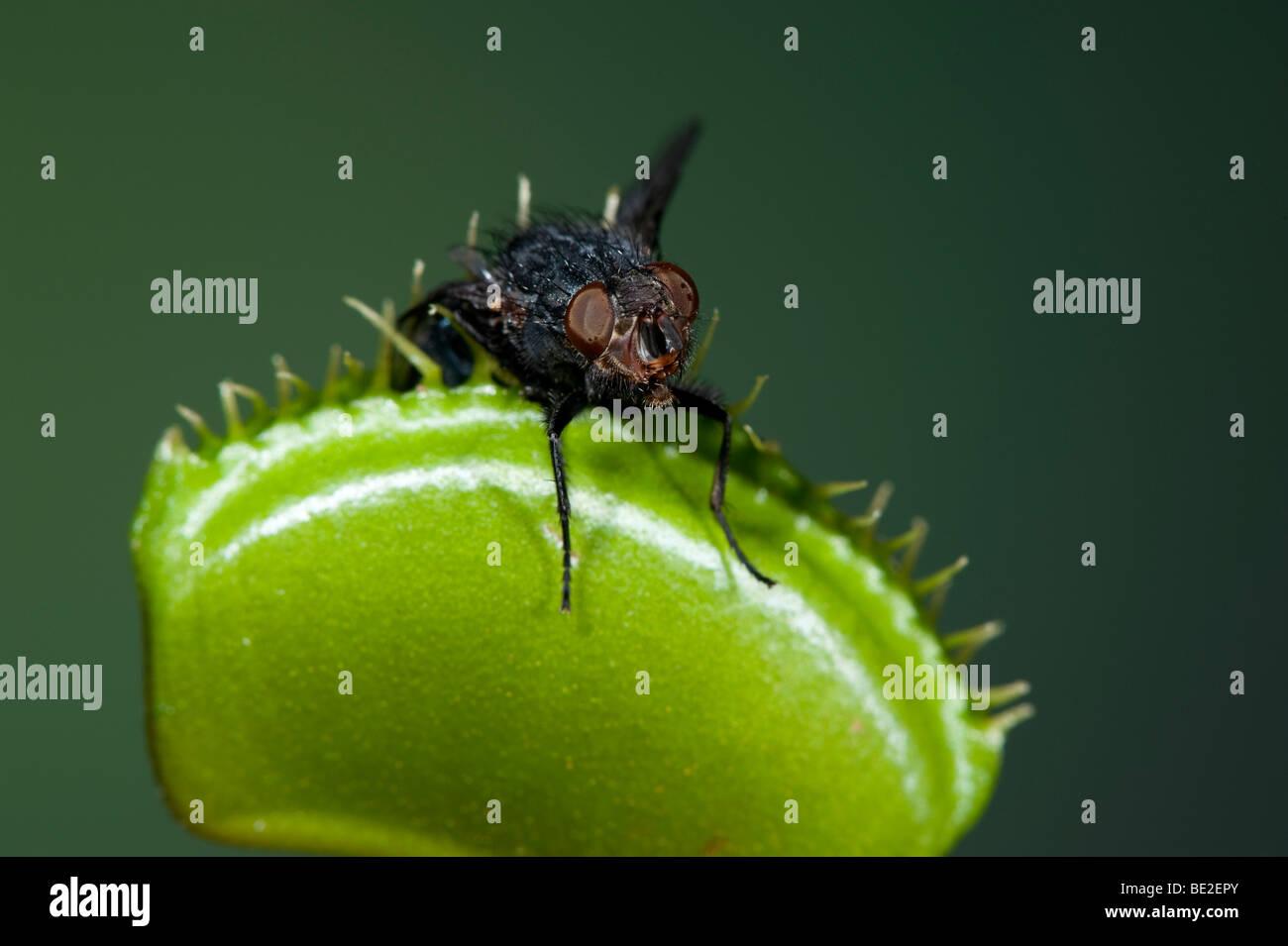 100 semi//Pianta Carnivora//comincerà insetti Venere Mosche Trappola//ca