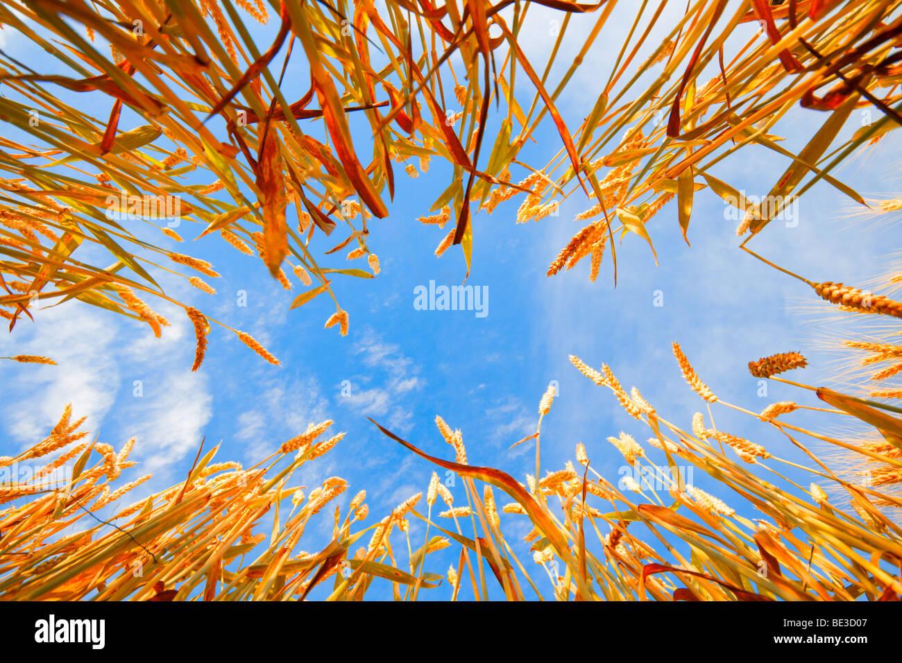 Cielo inquadrata con gli steli di grano Immagini Stock