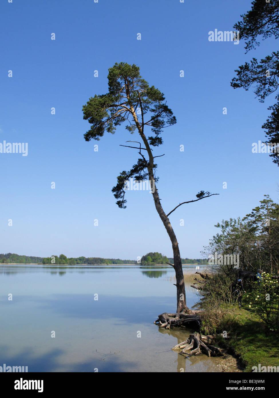 Pino silvestre sul lungolago, Grosser Ostersee lago, Osterseen laghi, Iffeldorf, Alta Baviera, Baviera, Germania, Immagini Stock