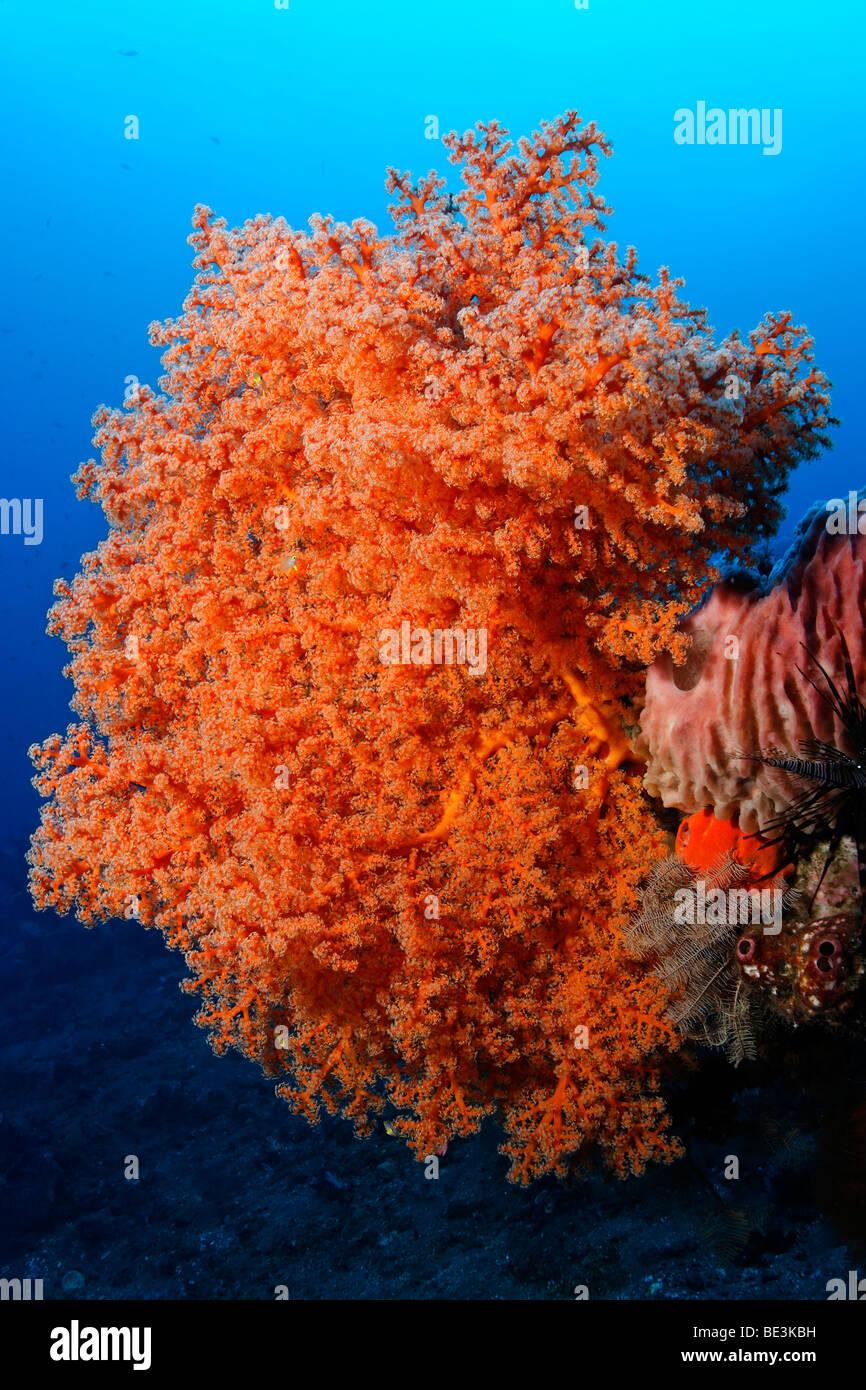 Rosa corallo morbido (Siphonogorgia godeffroyi), Kuda, Bali, Indonesia, Oceano Pacifico Immagini Stock