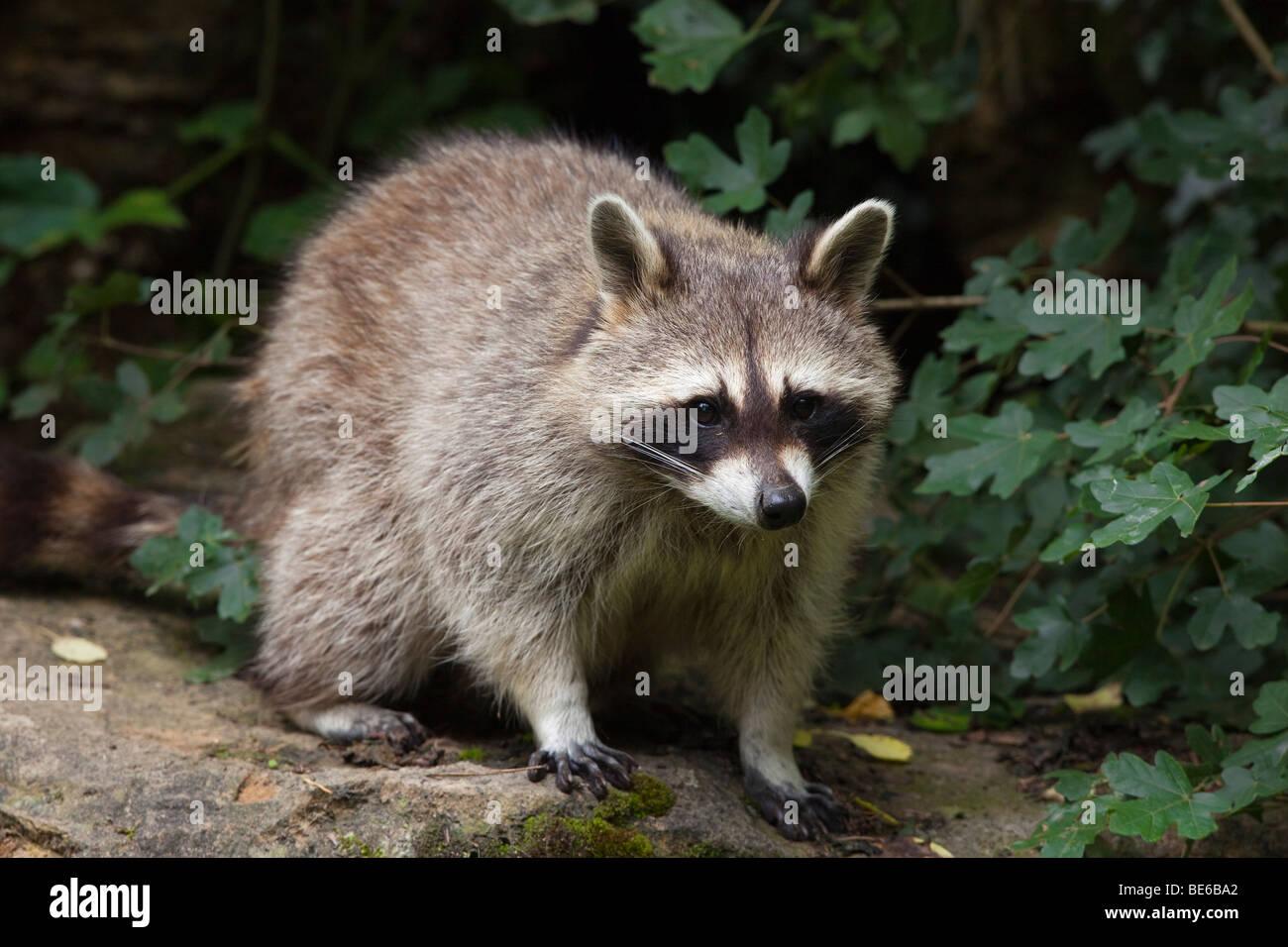 Raccoon (Procione lotor), in piedi. Immagini Stock