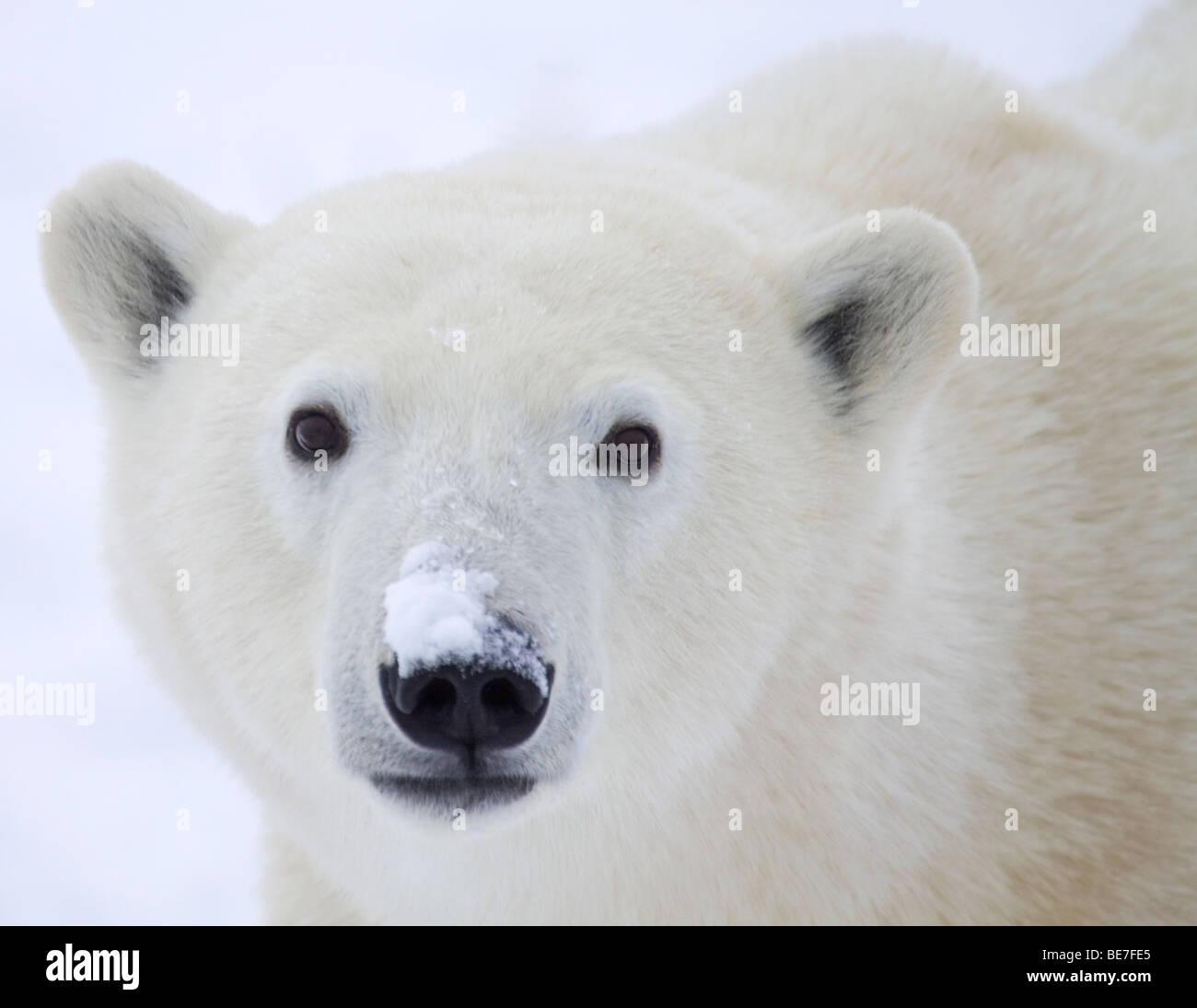 Close up curioso orso polare Immagini Stock