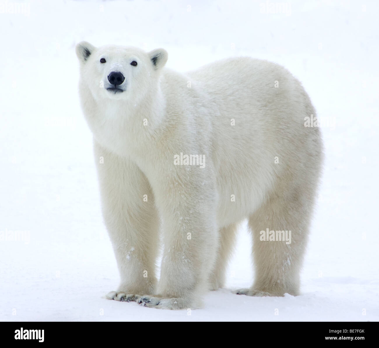 Orso polare in piedi in campo Immagini Stock