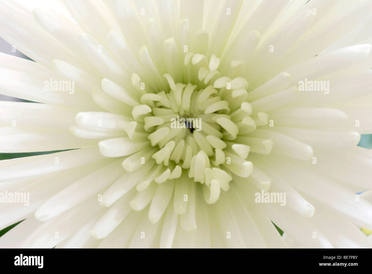 Crisantemo Bianco fiore close up Immagini Stock