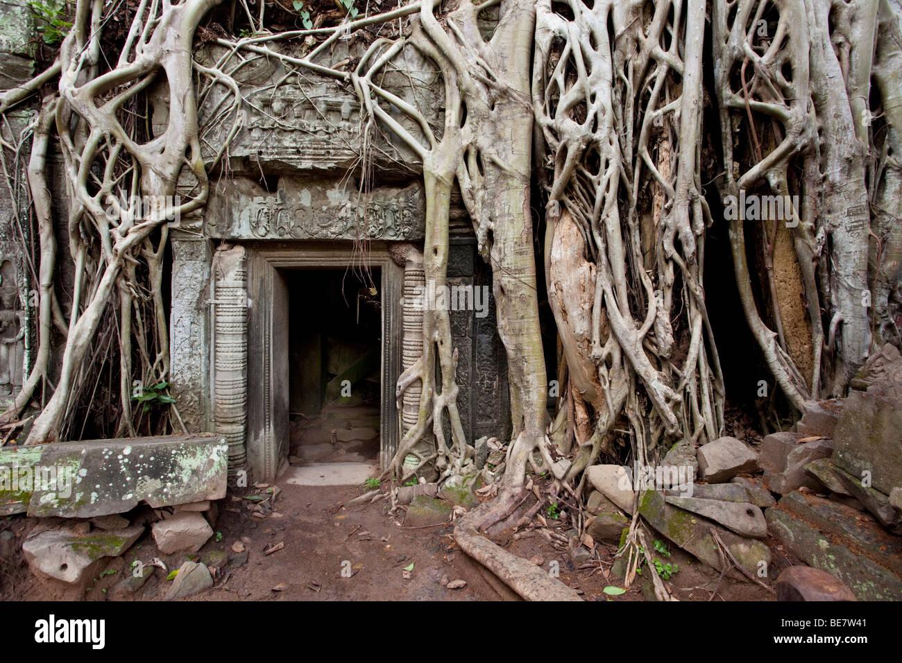 Vista iconica a Ta Prohm in Angkor Wat complessa, Cambogia Foto Stock