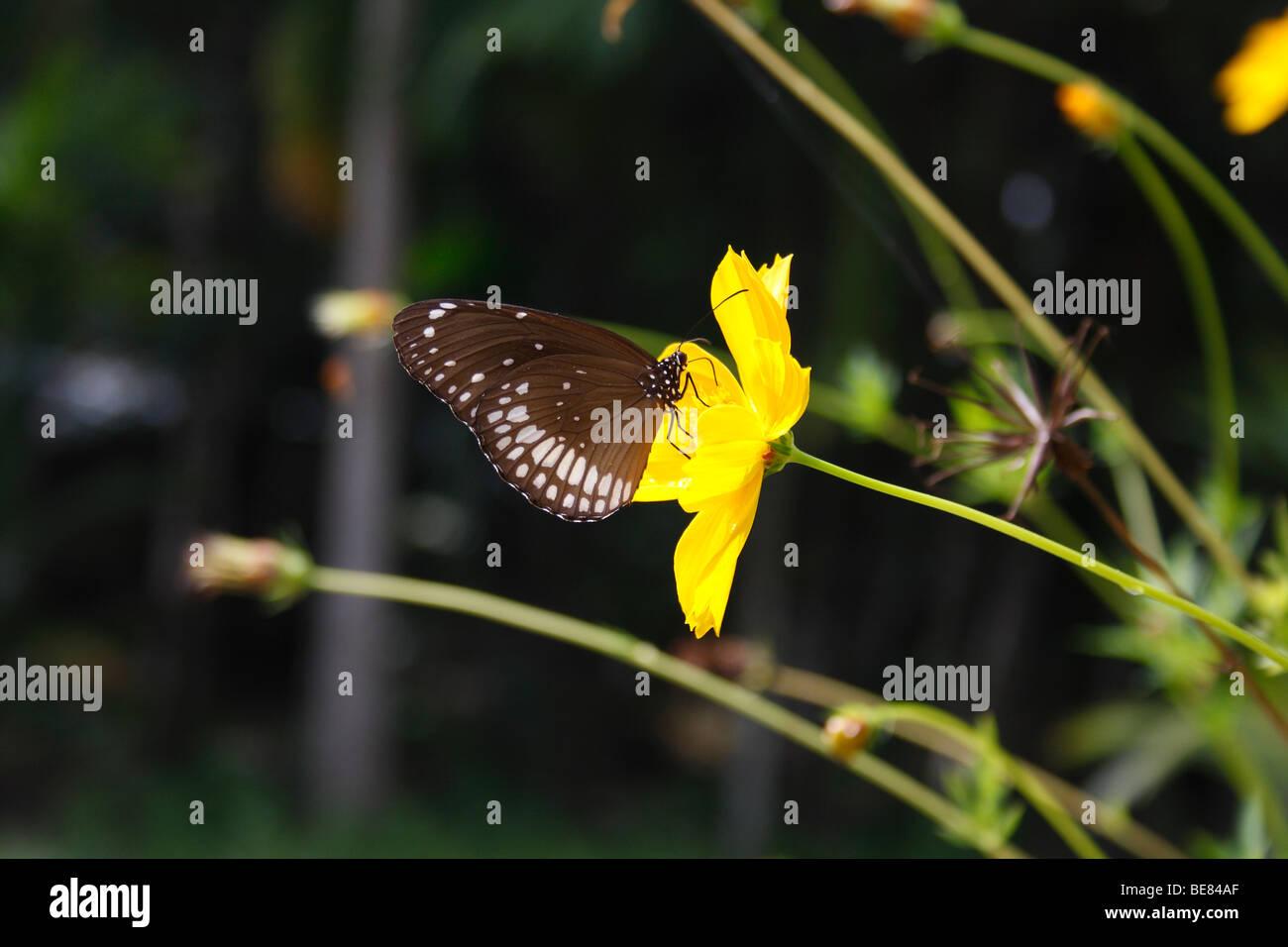 Punteggiata di bianco farfalla su fiore giallo con blur sullo sfondo , chiamato anche come Danainae butterfly Immagini Stock