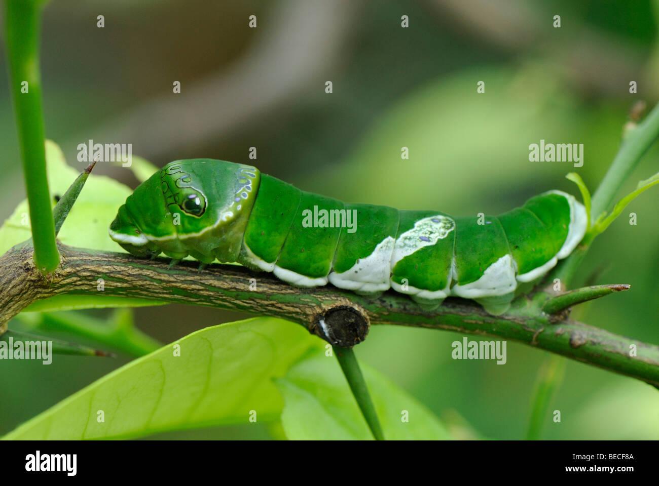 Caterpillar di un limone Butterfly (Papilio demoleus), Monaco di Baviera Giardino Botanico Immagini Stock