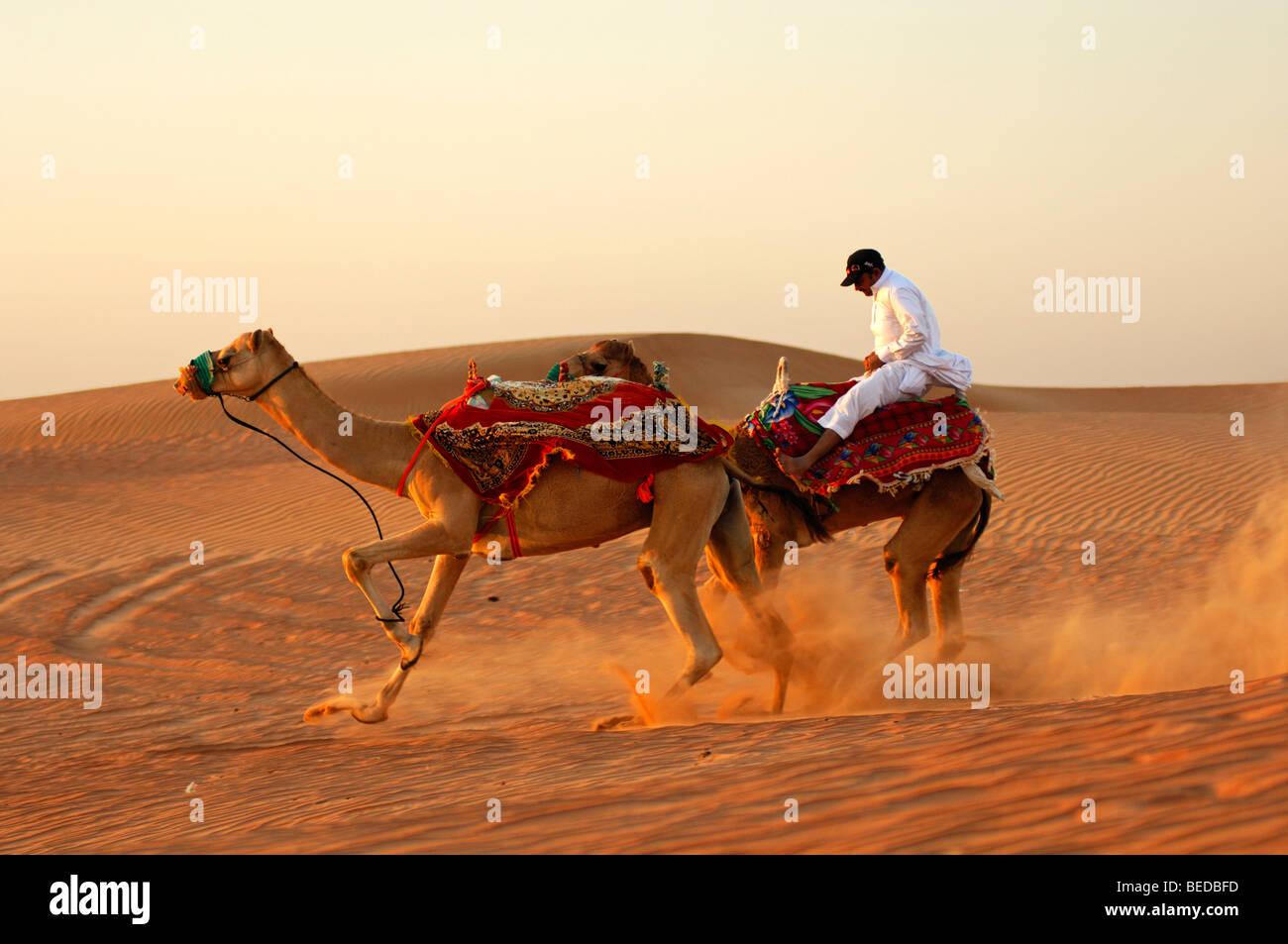 Wild safari in cammello, runaway cammelli con un disperato jockey, Dubai, Emirati Arabi Uniti, Medio Oriente Immagini Stock