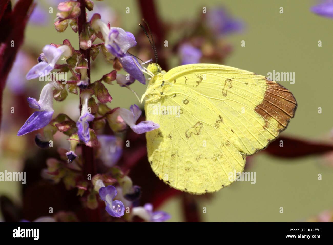 Giallo erba Butterfly Eurema hecabe prese a Nagarhole National Park, nello stato di Karnataka, India Immagini Stock
