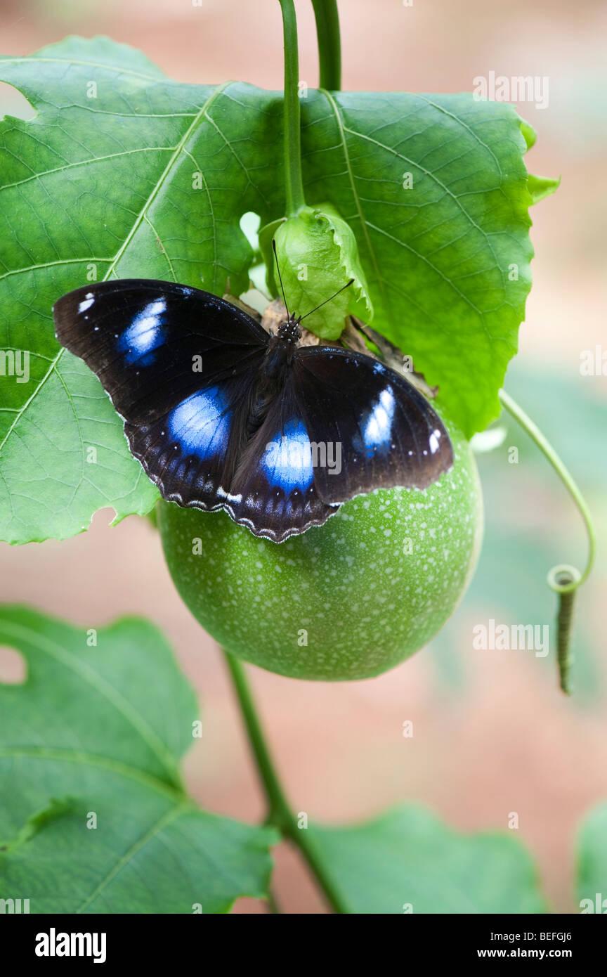 Hypolimnas bolina. La grande farfalla Eggfly appoggiata su di un fiore della passione frutta nella campagna indiana. Immagini Stock