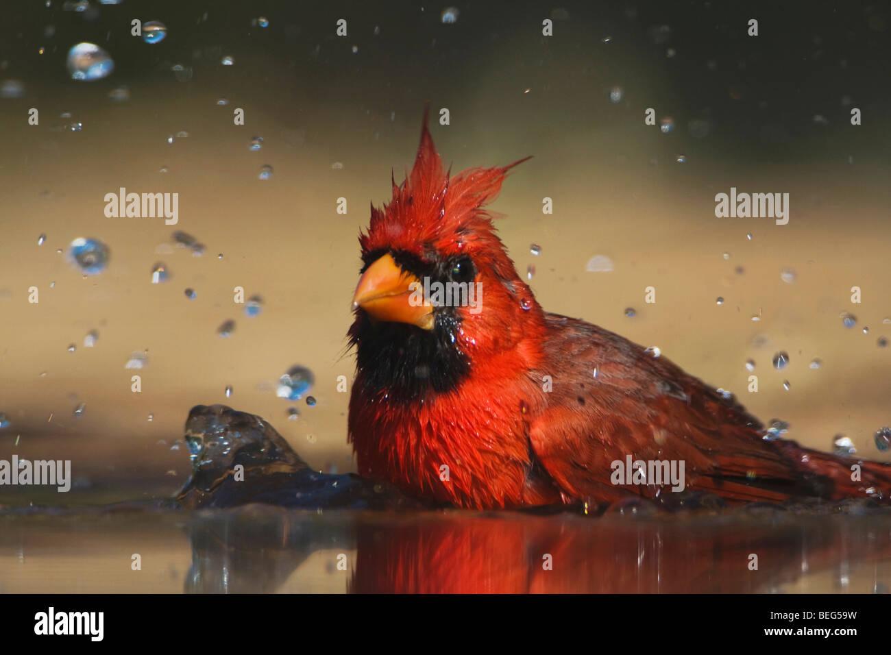 Il Cardinale settentrionale (Cardinalis cardinalis),di balneazione maschio, Rio Grande Valley, Texas, Stati Uniti Immagini Stock
