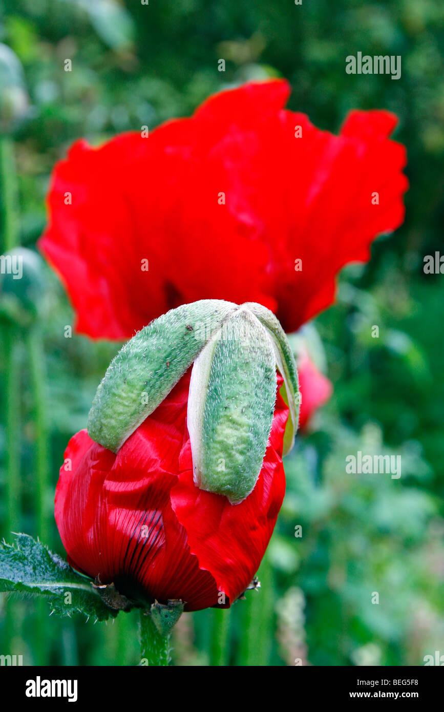 Papaver orientale Aglaja-papavero orientali