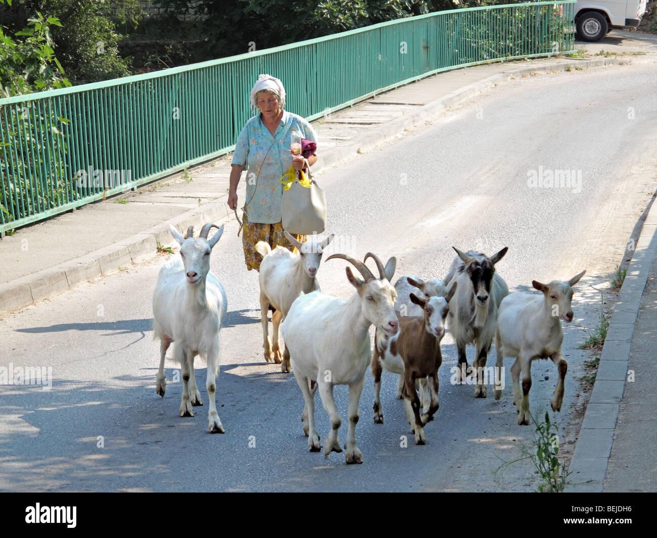 Vecchia donna herder attraversa un ponte con le sue capre. Immagini Stock