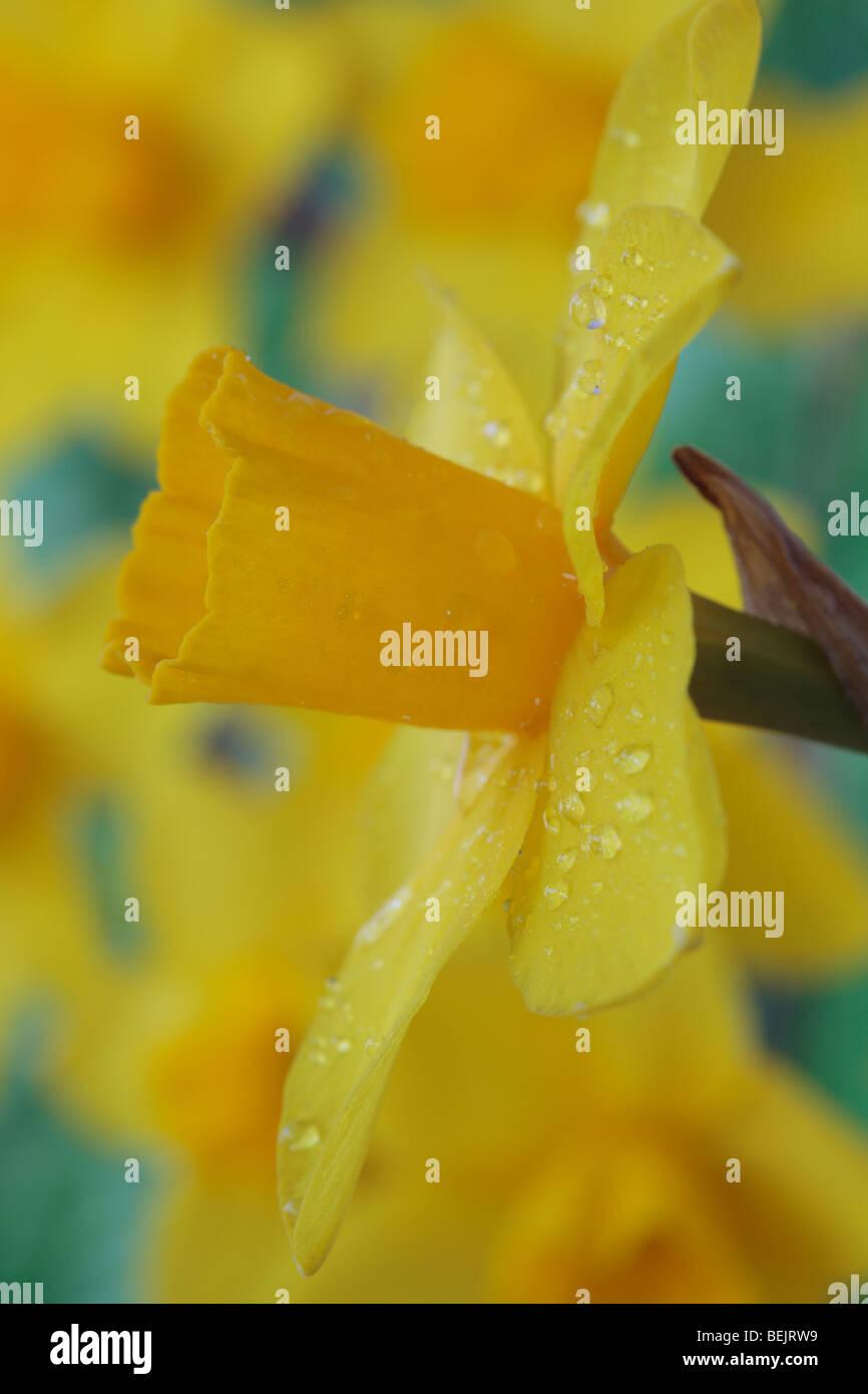 Narcissus 'Sweetness' AGM (Daffodil) Div.7 Jonquilla Immagini Stock
