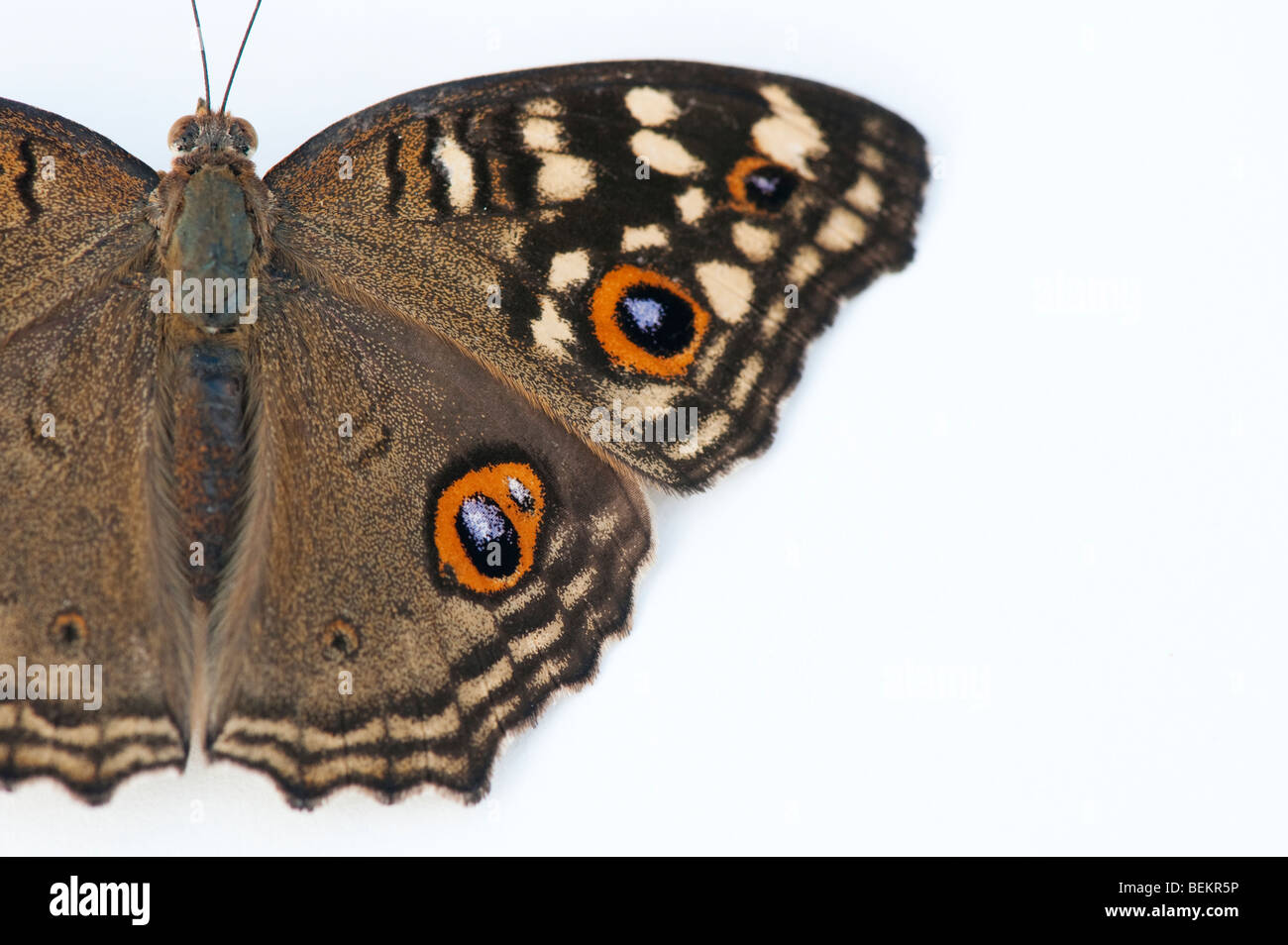 Junonia lemonias. Limone Pansy butterfly su sfondo bianco Immagini Stock