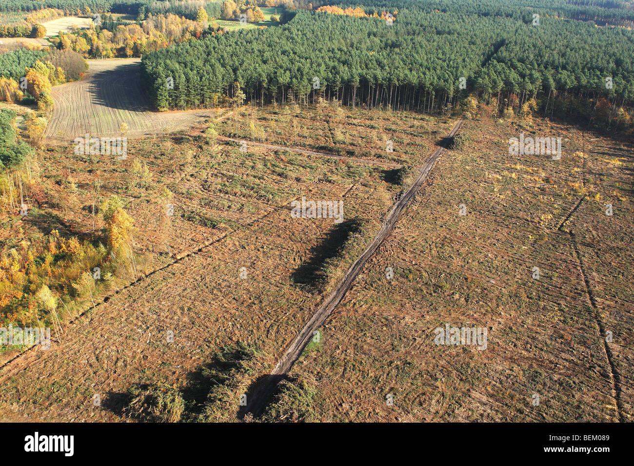 Deforestazione della foresta di pini, foresta di trasformazione e sviluppo di erica, Belgio Immagini Stock