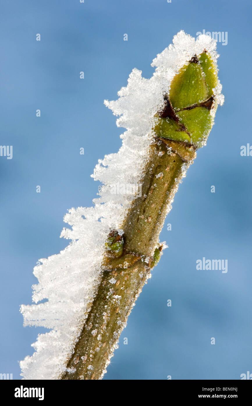 Acero di monte (Acer pseudoplatanus) bud in inverno coperto di brina Foto Stock