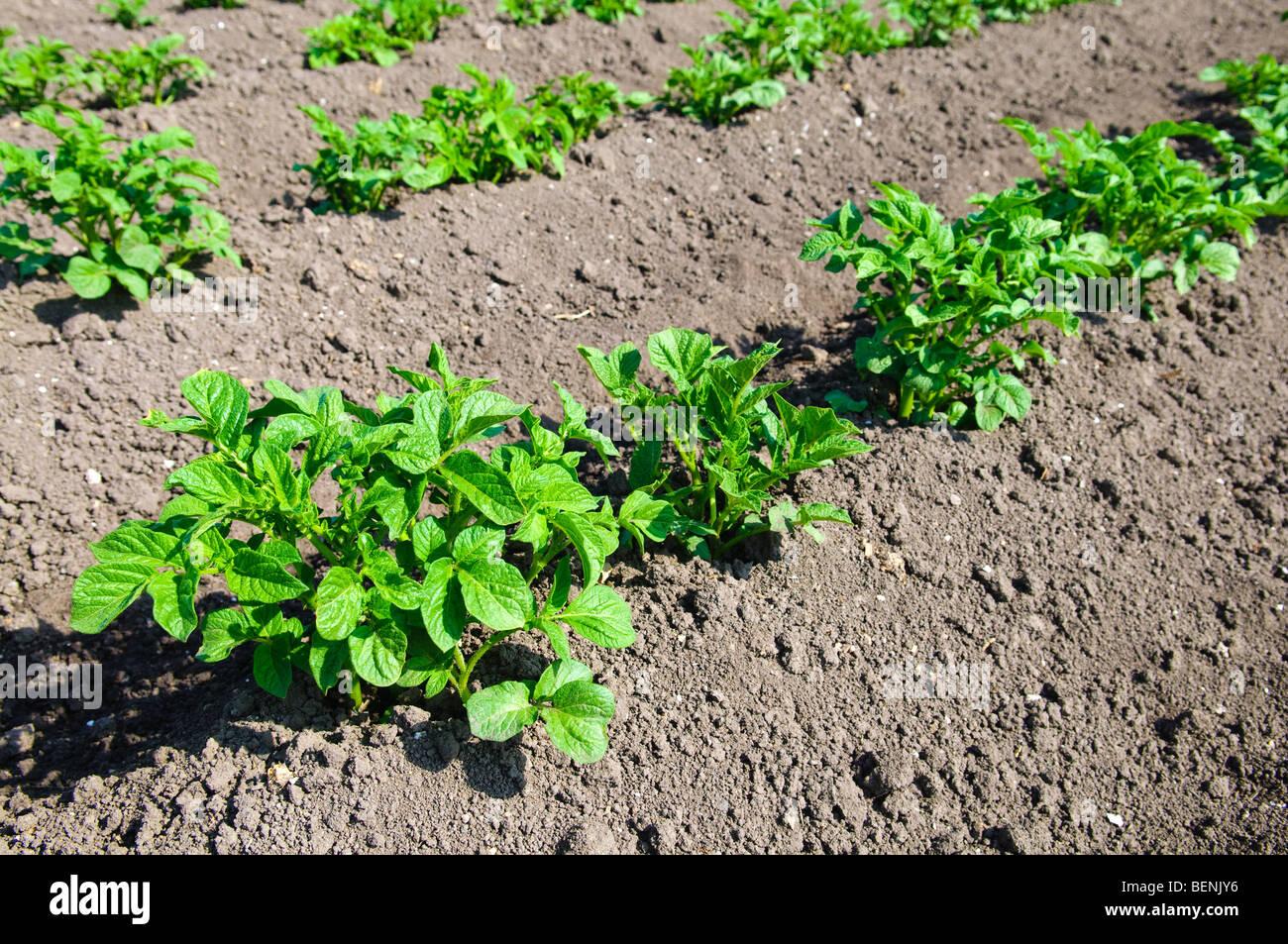 Campo di patate con giovani piante di patate Immagini Stock