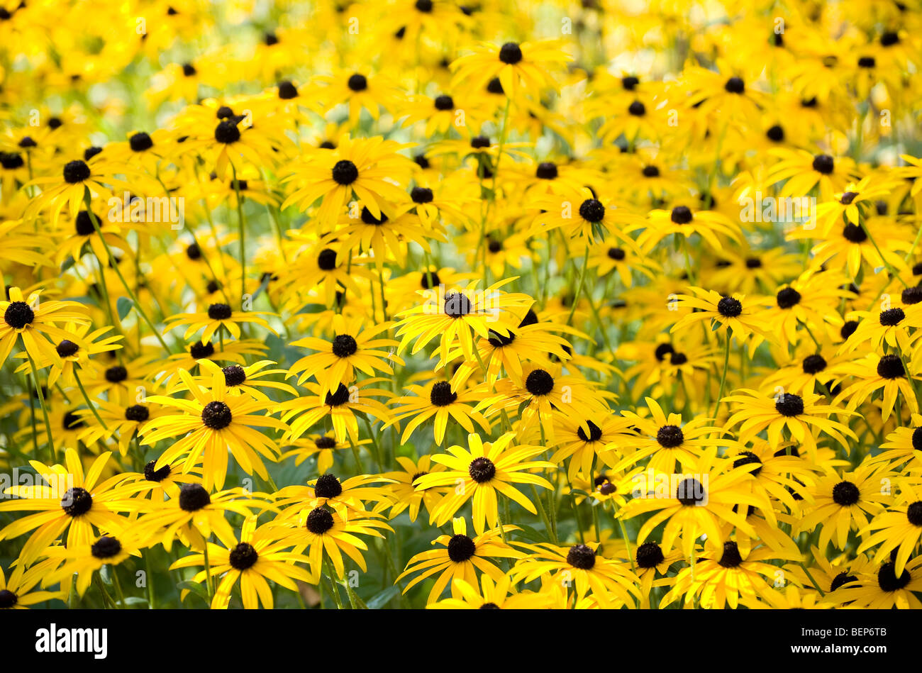 Black Eyed susan fiori in english Garden cottage Immagini Stock
