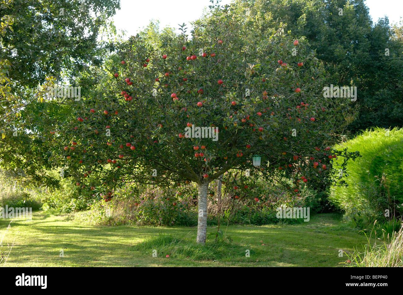 Ben formato rotondo piccolo scoperta melo con frutti maturi rossi, Devon Immagini Stock
