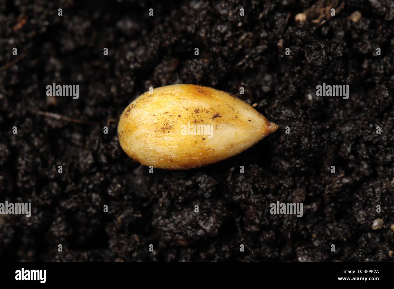 Scoperta di semi di Apple su una superficie di terreno Immagini Stock