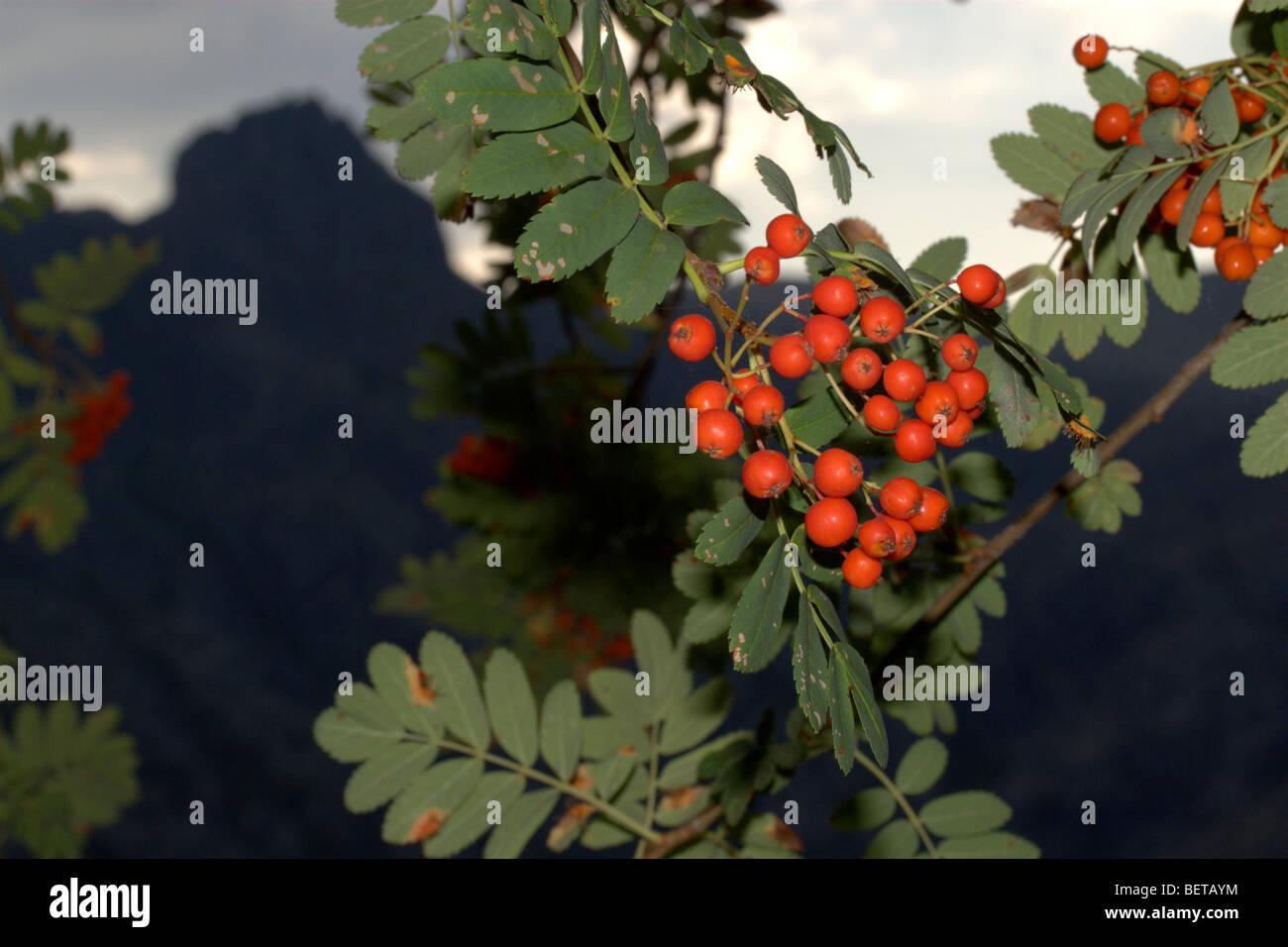 Rowan o Unione Rowan (Sorbus aucuparia) Immagini Stock