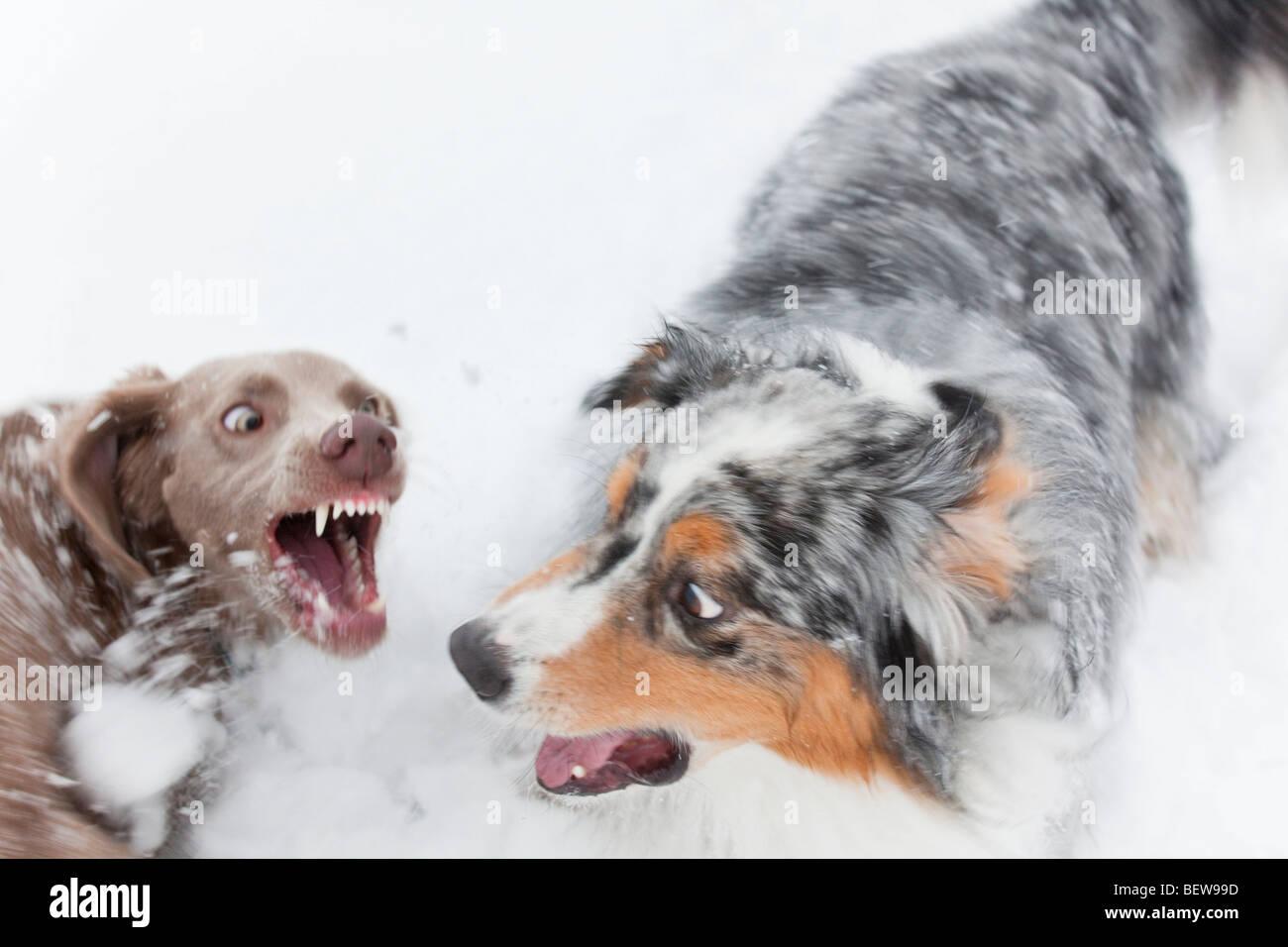 Due cani combattimenti nella neve, ad alto angolo di visione Immagini Stock