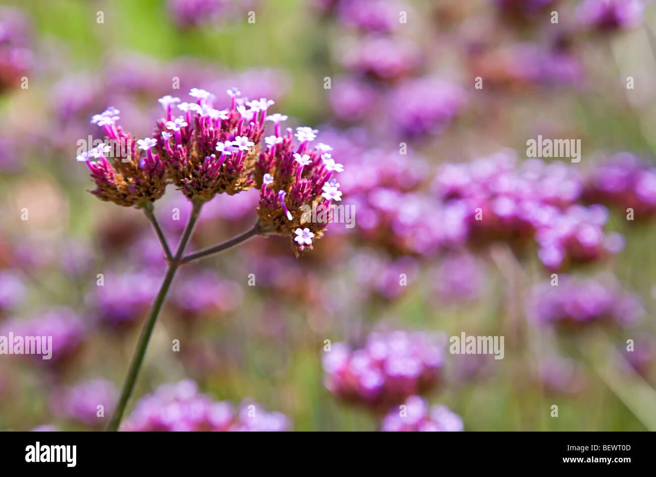 Vervain Verbena officinalis fioritura Belgio Immagini Stock