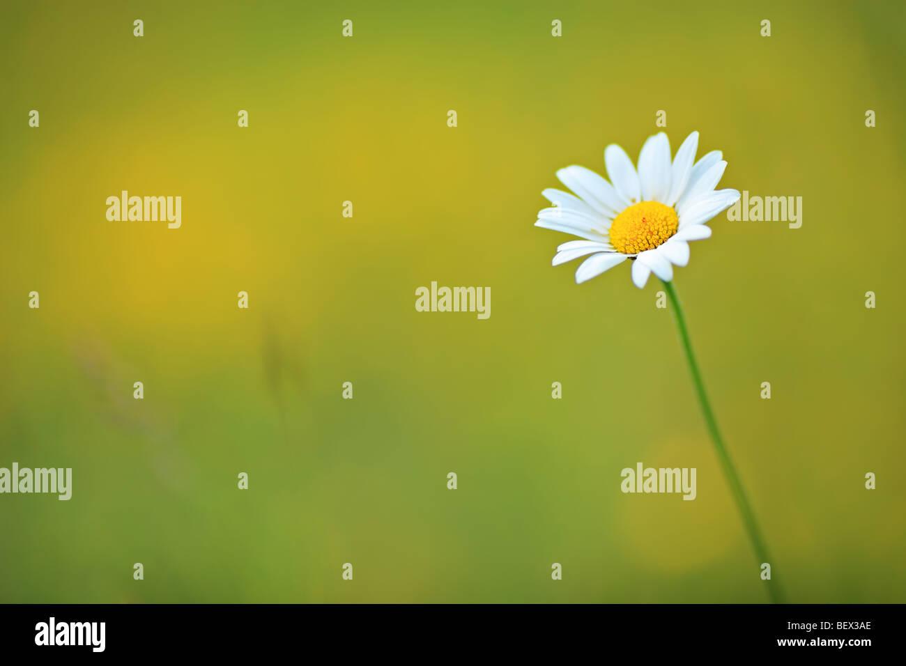 Fiore a margherita in un campo Immagini Stock