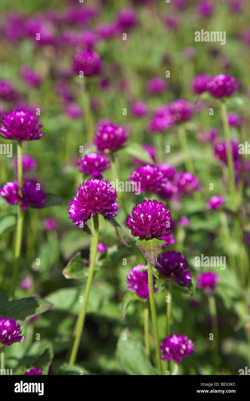 Gomphrena globosa Amaranthaceae famiglia fiori tropicali delle Americhe Immagini Stock