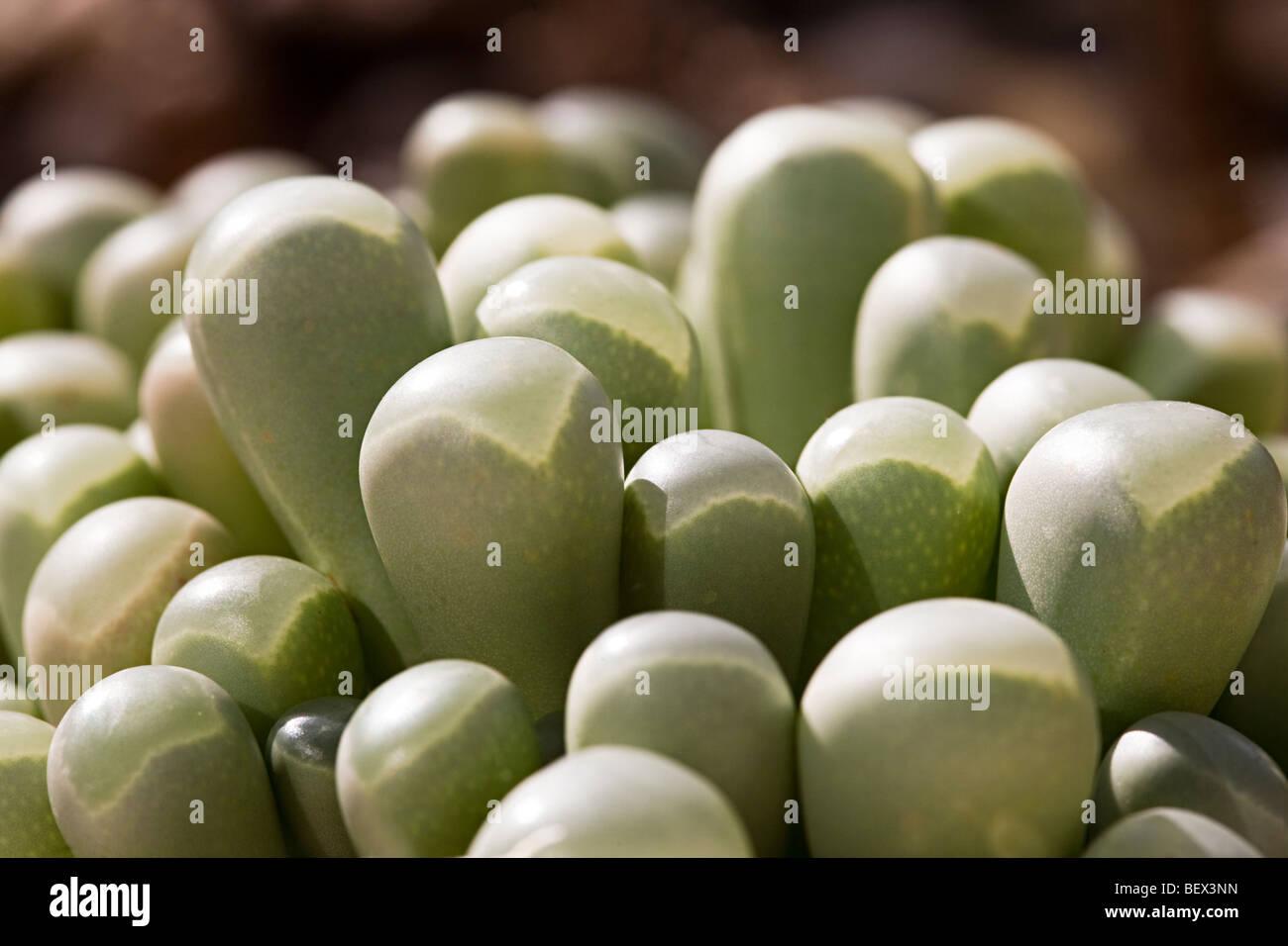 Piante succulente Fenestraria rhopalophylla Immagini Stock