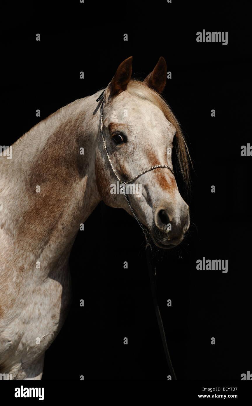 Cavallo AraAppaloosa (Equus caballus). Ritratto di uno stallone. Questa razza è una miscela di arabo e Appaloosa. Immagini Stock