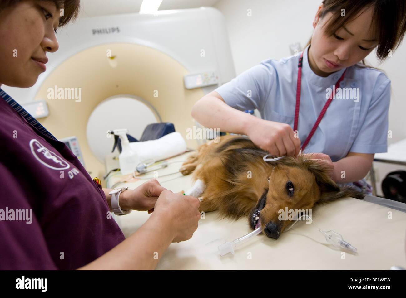 Un cane dachshound subisce una scansione TC, ad un giapponese clinica veterinaria. Immagini Stock