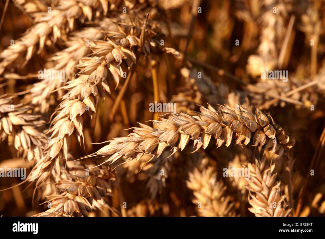 Campo di grano pronto per la mietitura Immagini Stock