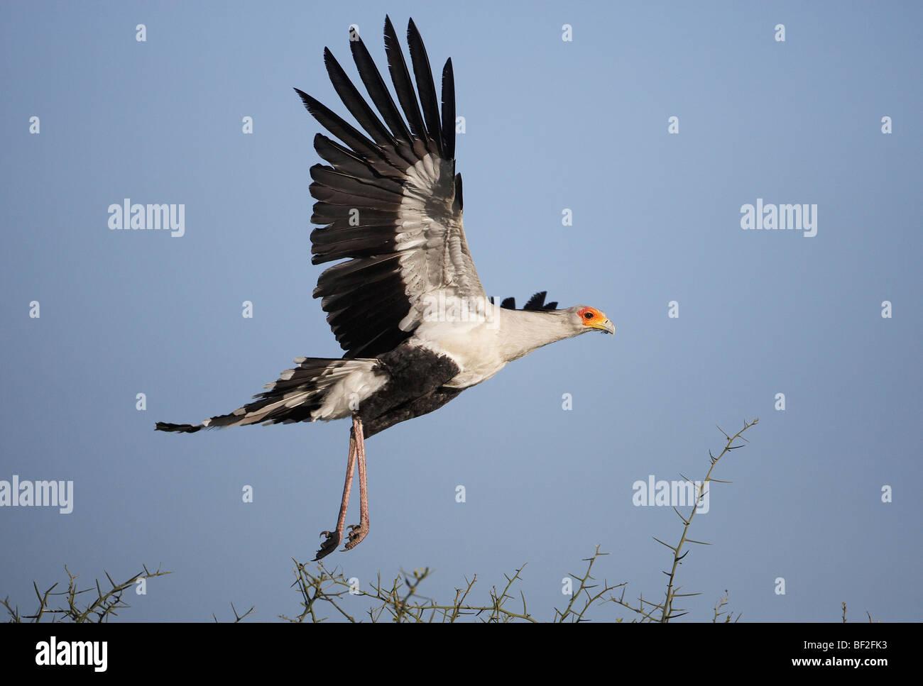 Segretario Bird (Sagittarius serpentarius), Adulto decollare da acacia. Immagini Stock