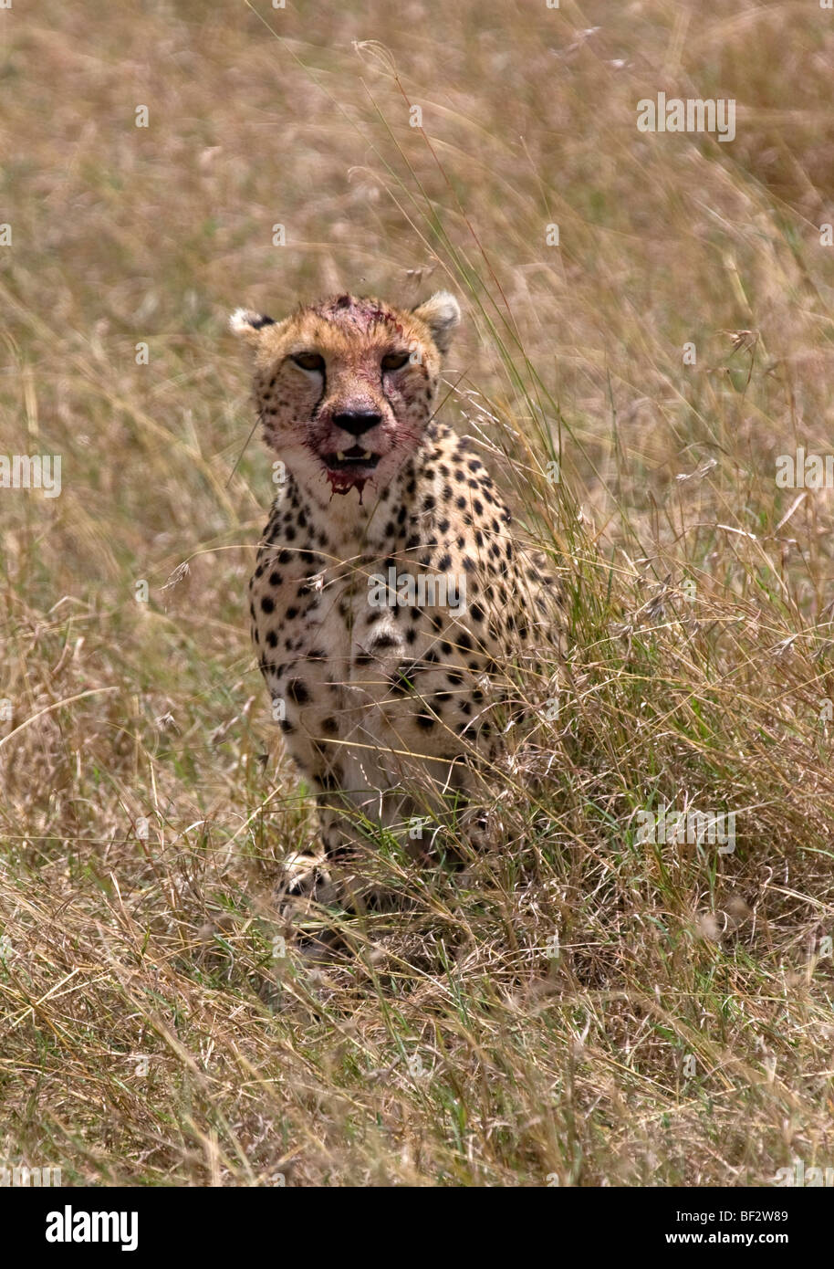 Cheetah con volto insanguinato dalla sua recente kill Foto Stock