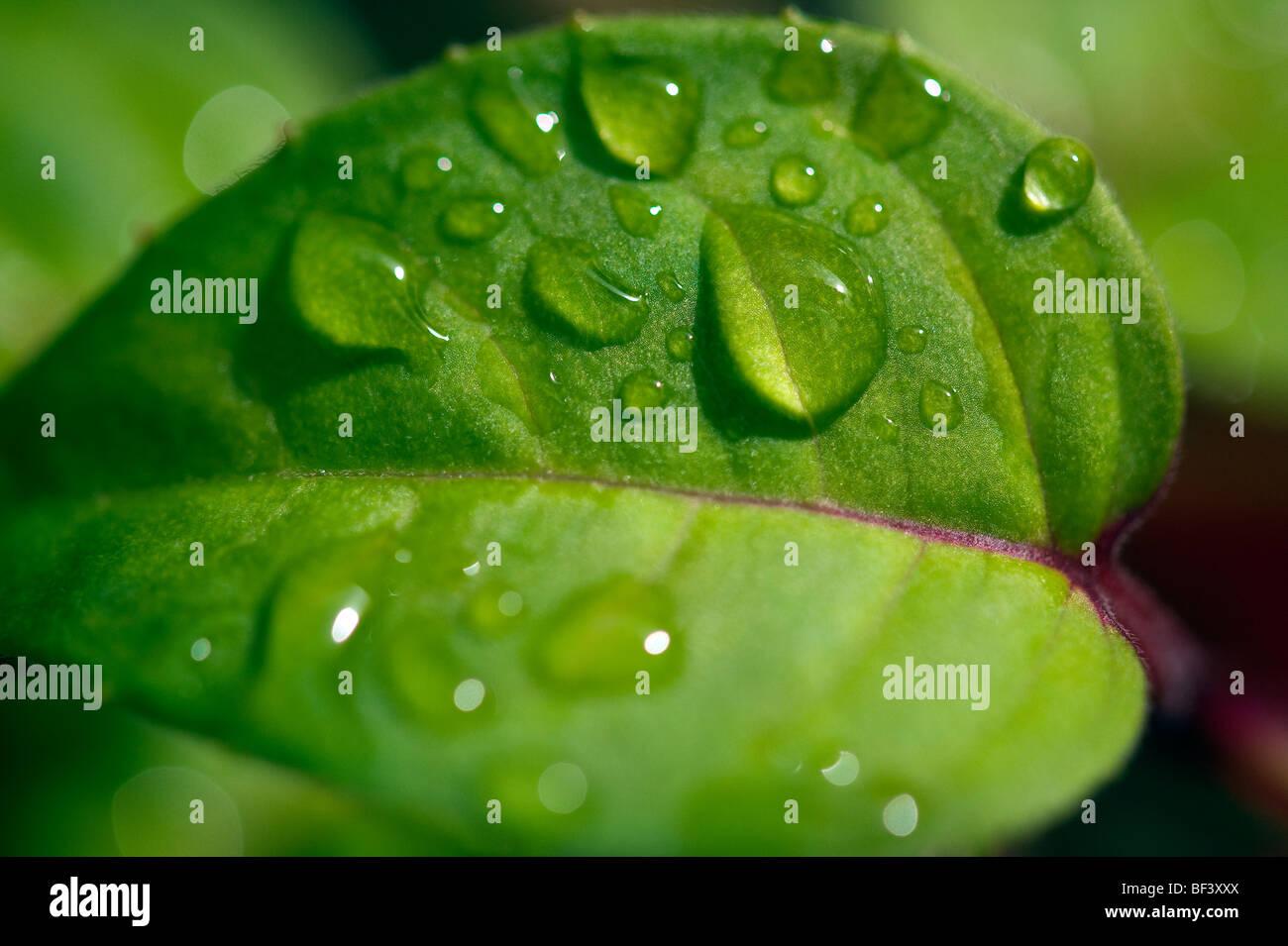 La mattina presto gocce di rugiada si riuniscono sulle foglie di una pianta nel giardino di una casa in Inghilterra Immagini Stock