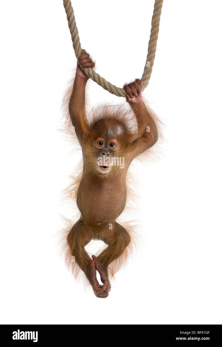 Baby Orangutang Sumatra, 4 mesi di età, appeso a una fune di fronte a uno sfondo bianco, studio shot Immagini Stock